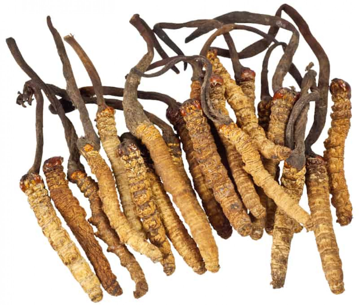 Nutraceutical and therapeutic properties of medicinal fungus : Cordyceps sinensis - scientific references